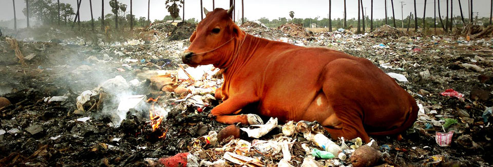 cow-with-garbage